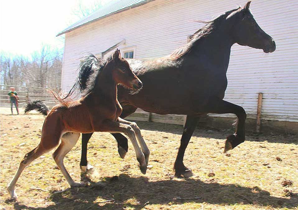 Nutrition & The Foaling Mare