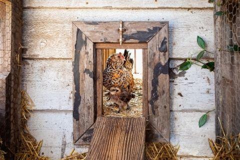 Routine Chicken Coop Maintenance Tips